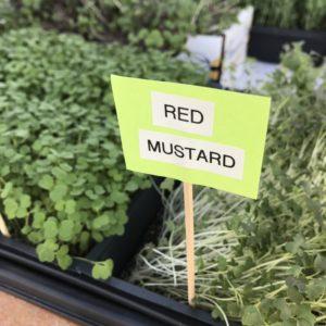 red mustard microgreens