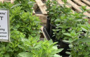 herbs at shelton herb farm